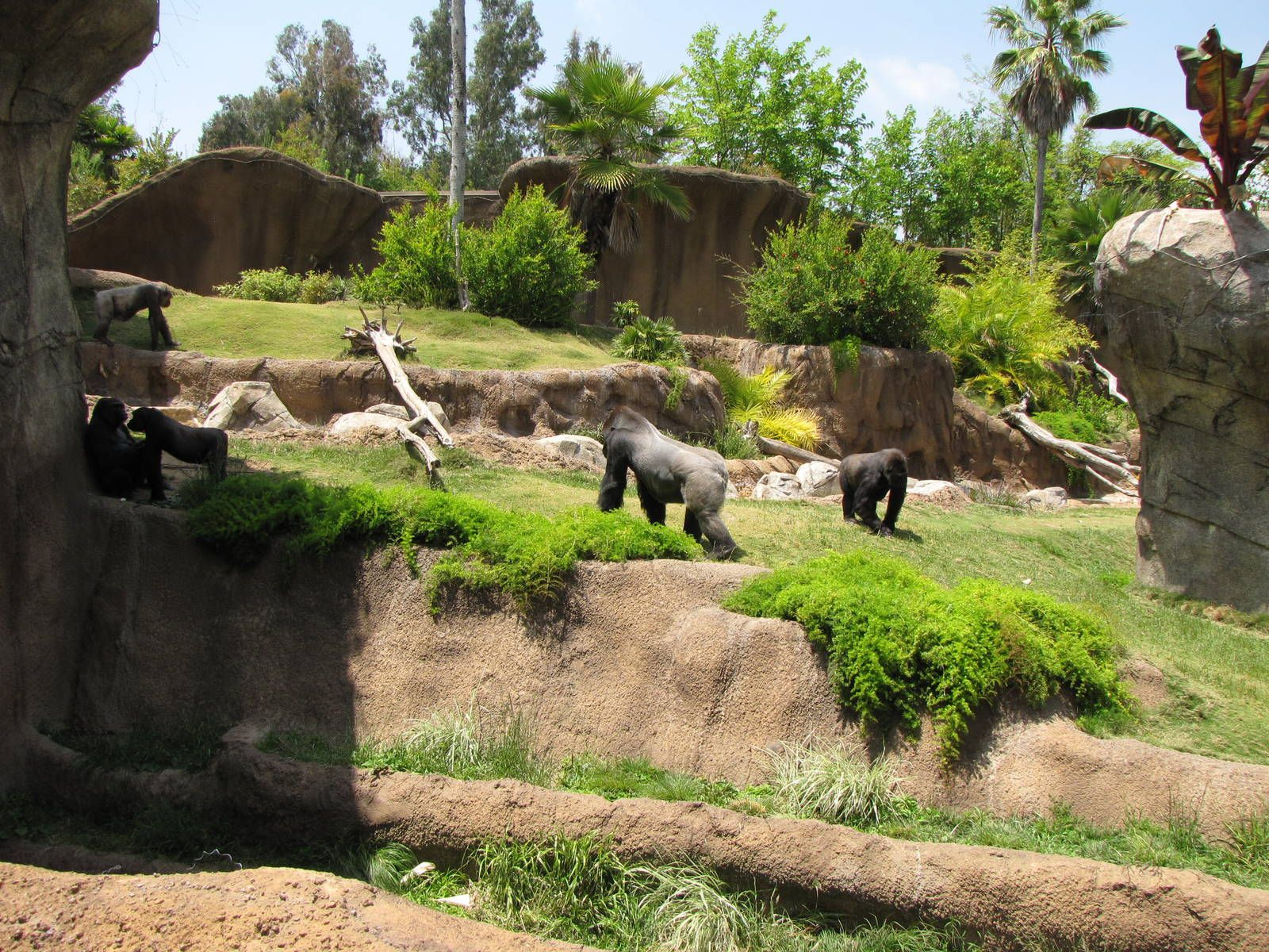 Campo Gorilla Reserve Los Angeles Zoo Botanical Gardens Gallery Los Angeles Zoo Zoo Animals