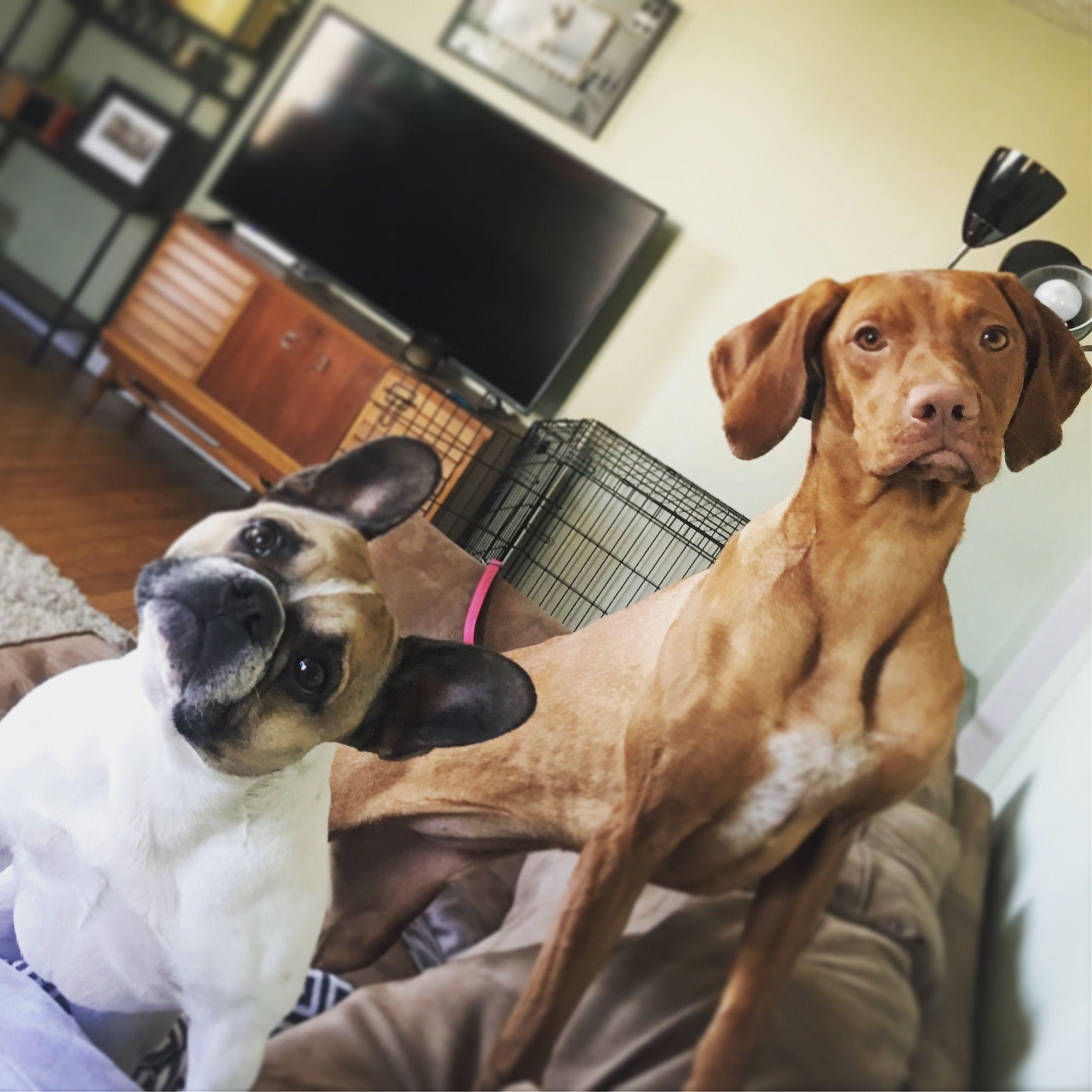 Vizsla Puppy Frenchie French Bulldog Vizsla Puppies Puppies Vizsla