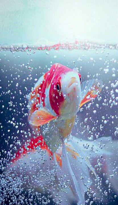 La leyenda dice que los peces que consegu an nadar r o for Peces que se cultivan en estanques en panama