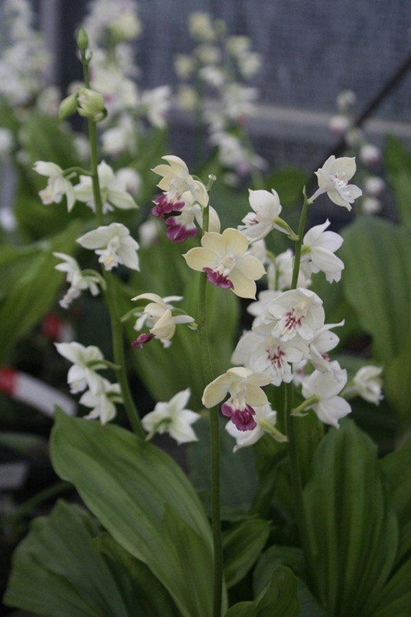 Calanthe Kojima White Plants Pollinator Plants Shade Plants