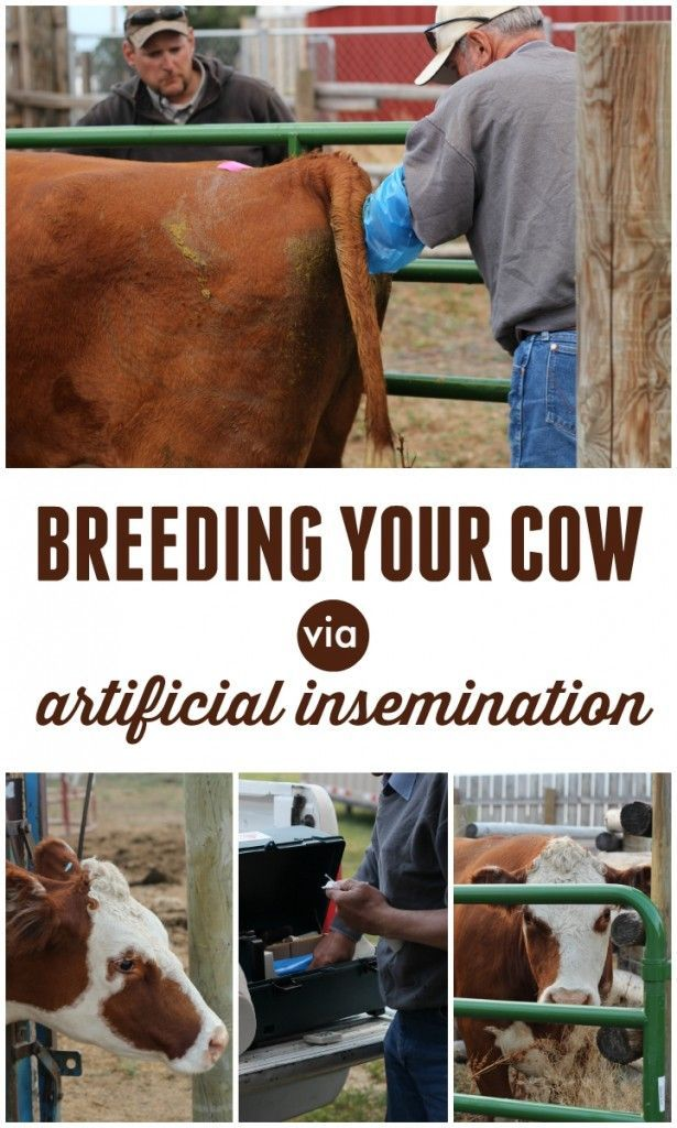 Breeding Your Cow With Artificial Insemination Tiny Homestead