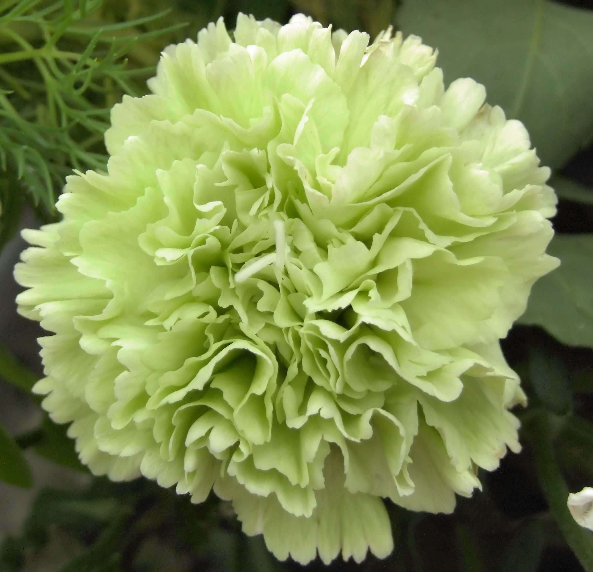 January Birth Month Flower Carnation Or Snowdrop Beautiful