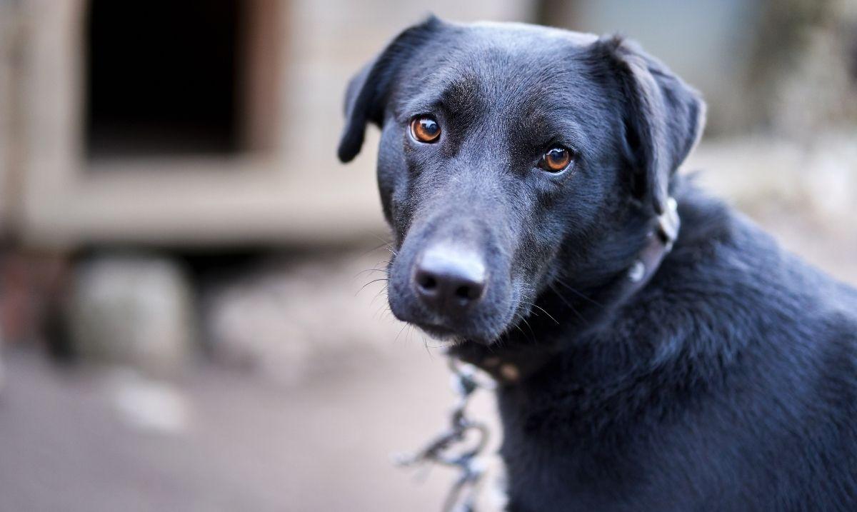What Is Black Dog Syndrome Black Dog Syndrome Black Dog Dog Face