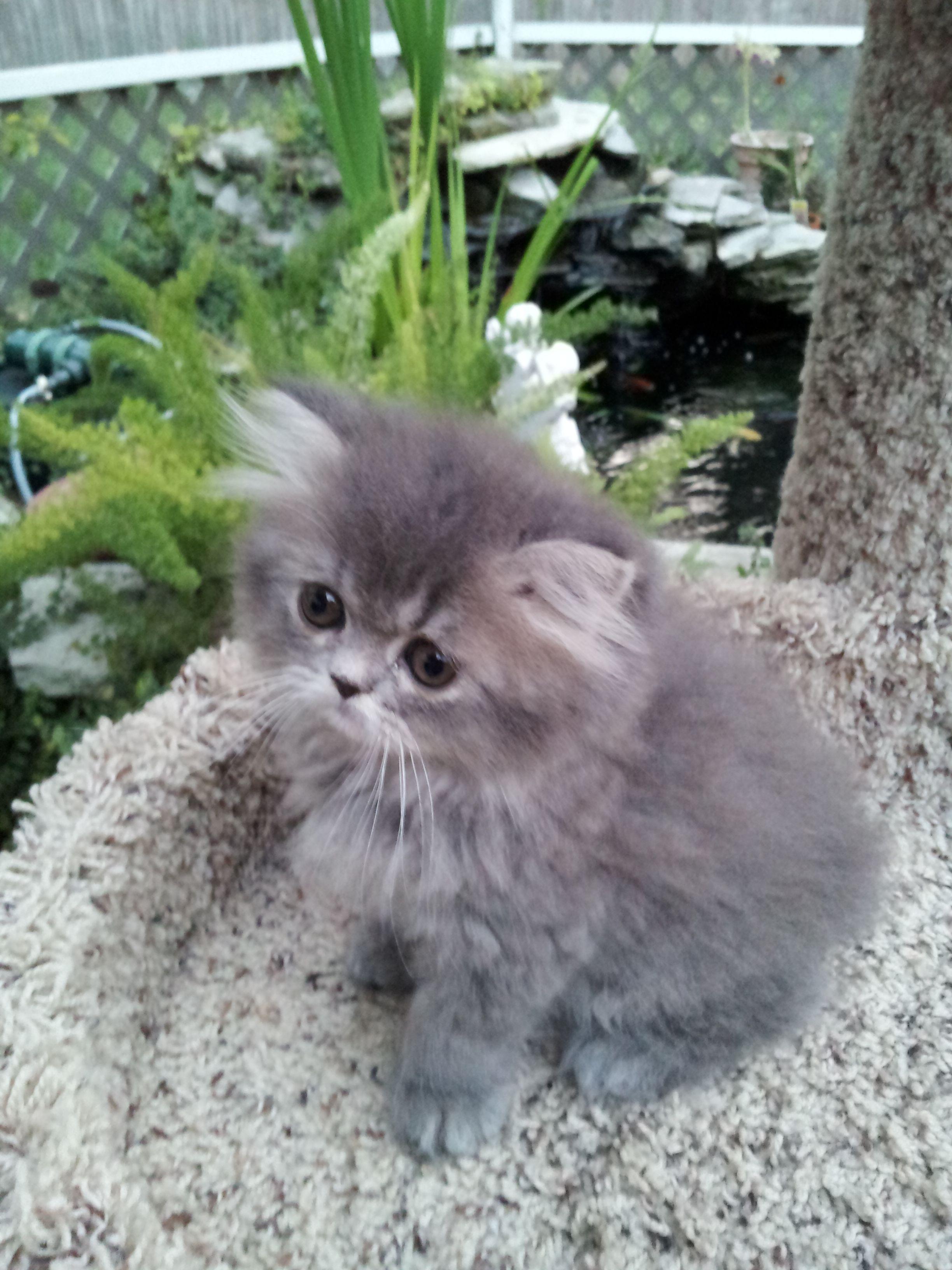 Blue Tabby Persian Doll Face Dollfacepersian Persian Kittens Cats Persian Cat