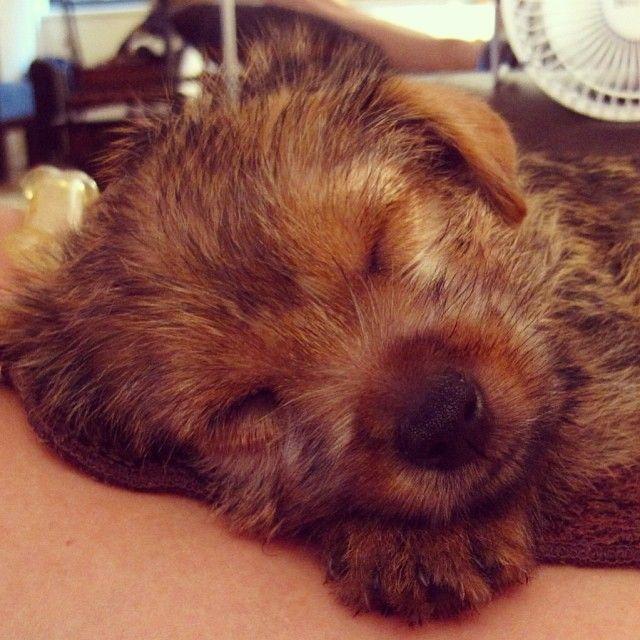 Norwich Terrier Puppy Teddythenorwich On Instagram Norwich Terrier Norwich Terrier Puppy Doggy