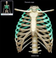 Bones and Bone Markings: The Axial Skeleton flashcards | Quizlet ...