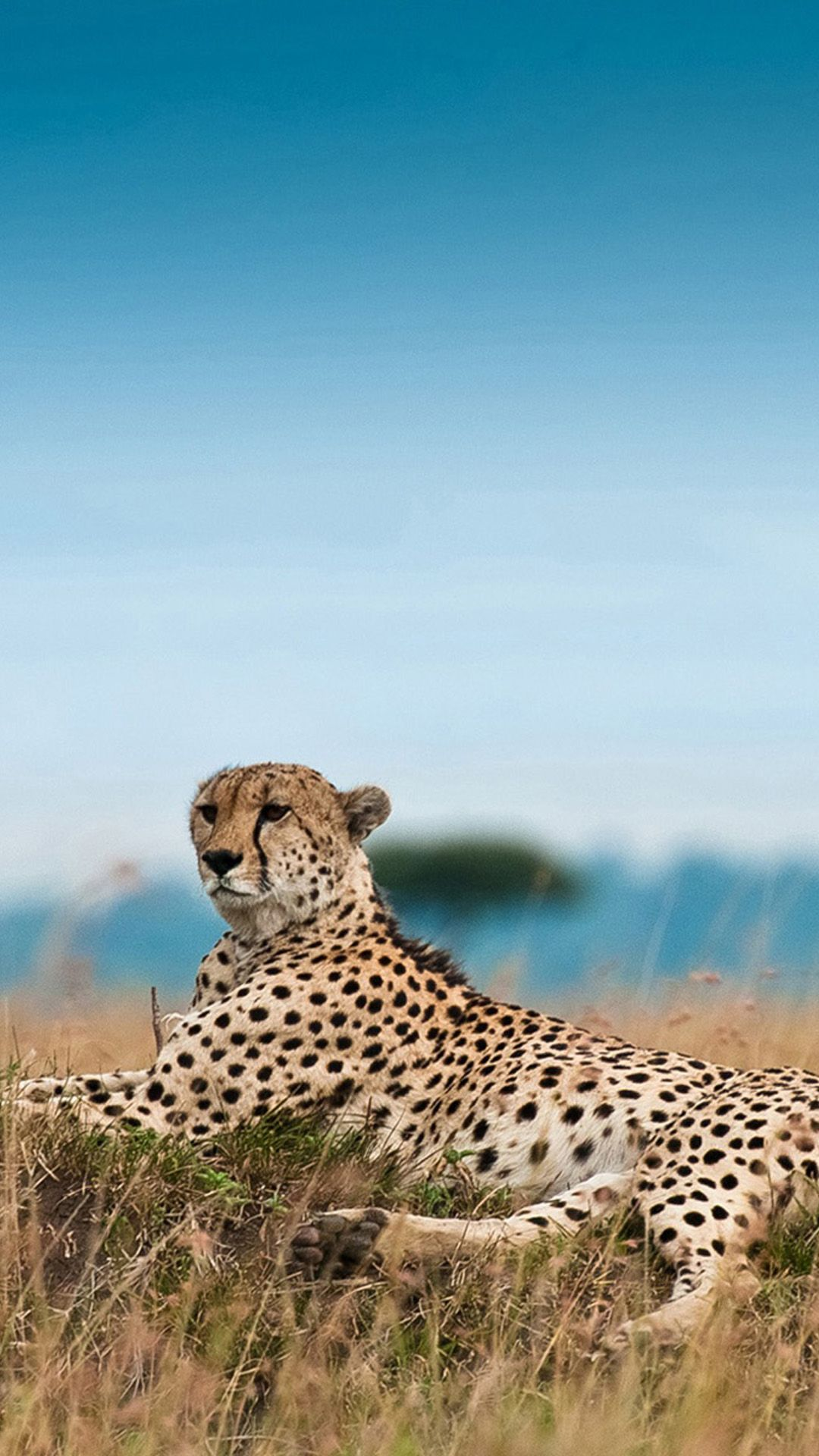 South Africa Leopard iPhone 8 Wallpapers Cat wallpaper