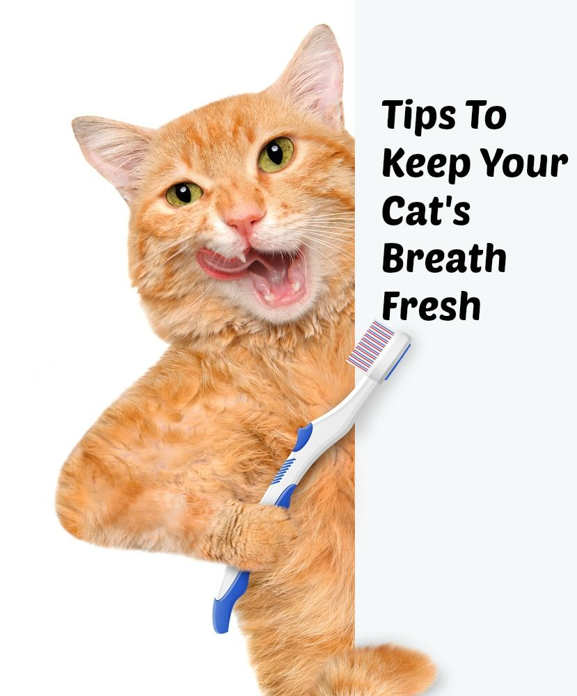 Bad Breath In Cats Tips To Keep Your Cat S Breath Fresh Fully Feline Cat Breath Bad Breath Remedy Oral Care Routine