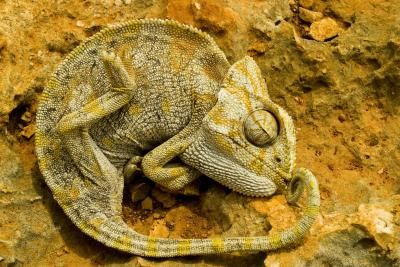 The Adaptations of Chameleons