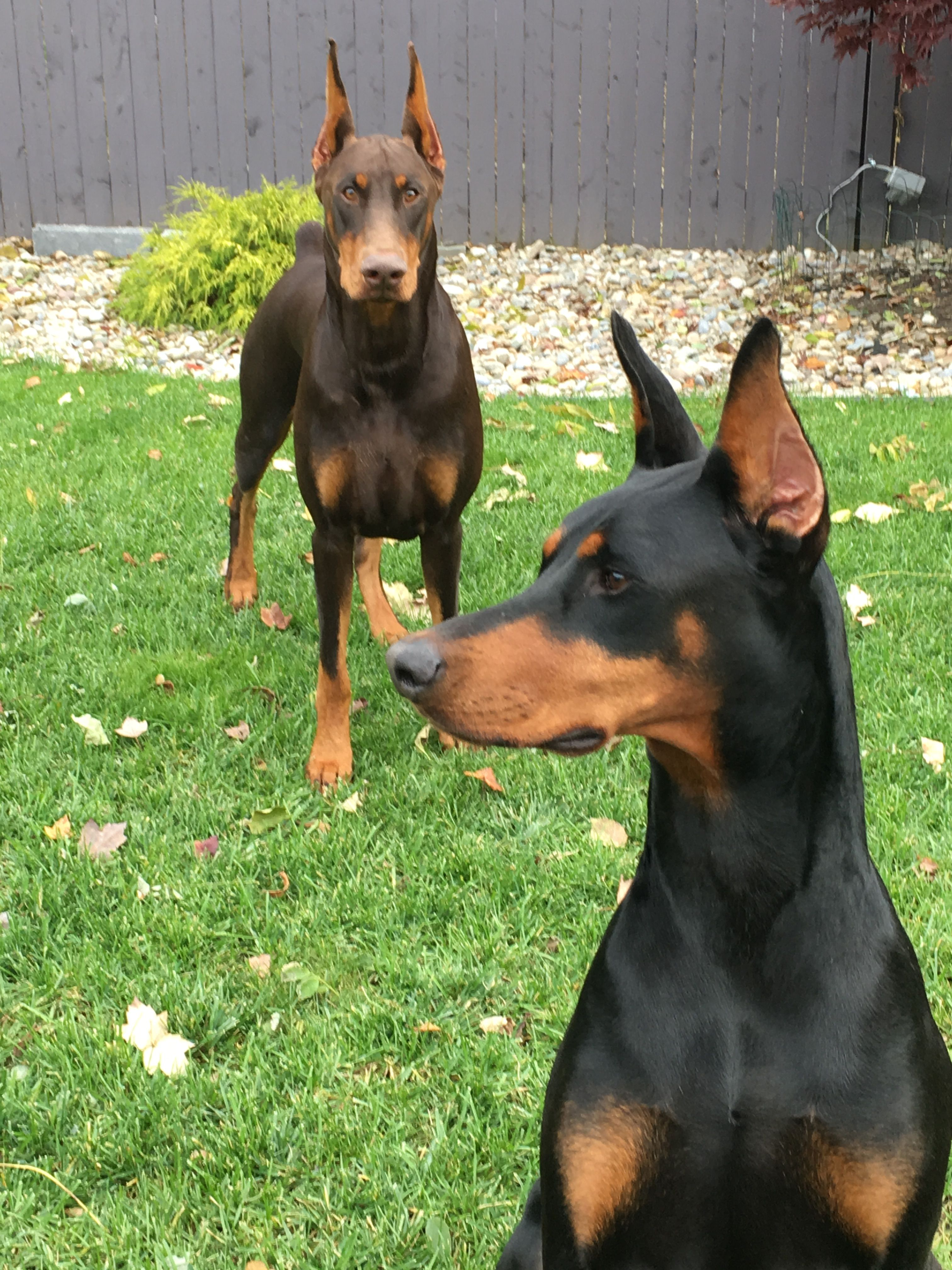 Pin By Jane Rossi On Doberman Sophie Girl Big Dogs Animals