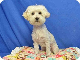 St Louis Mo Maltese Poodle Miniature Mix Meet Buffy A Dog