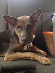 Adopt Lilac On Doberman Pinscher Dog Doberman Mix Doberman