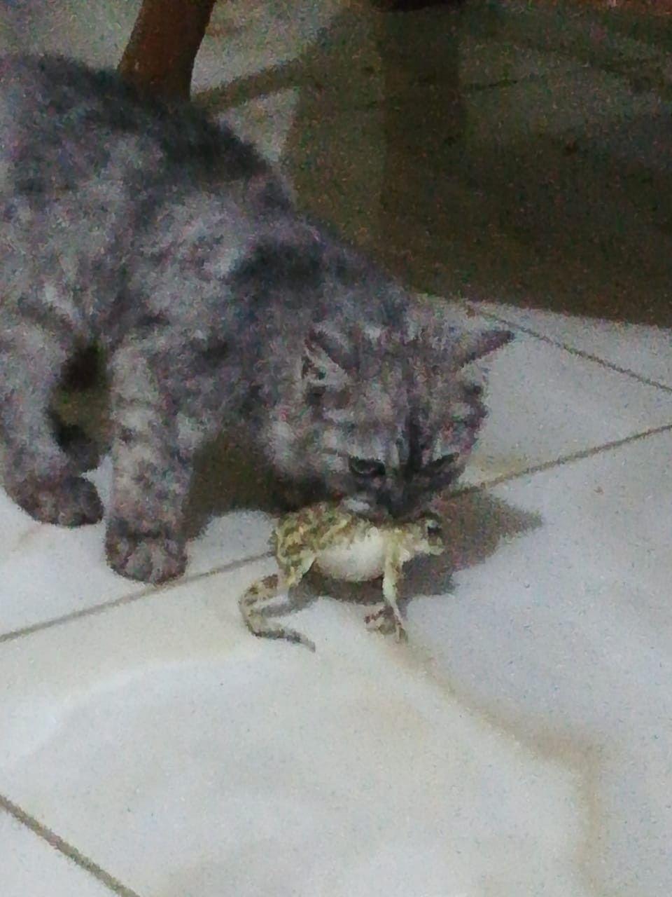 اول يوم كانت تشاهد الفار الصغير دون حراك وبعد ٧ ايام جاءت بضفدع من الخارج Cats Animals
