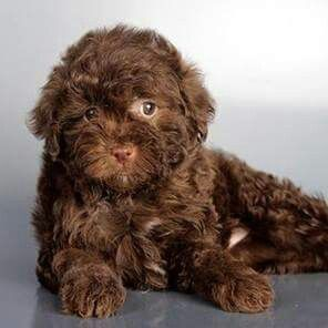 Chocolate Maltipoo Poodle Puppy Puppies Cute Animals
