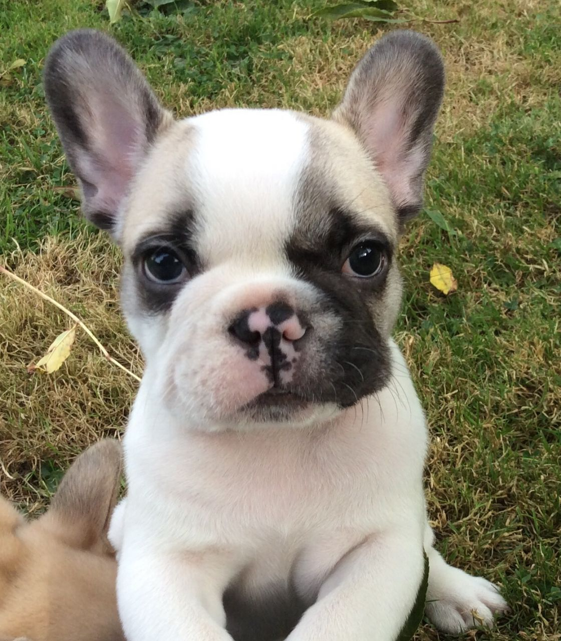 Beautiful Fawn Pied French Bulldog Cute Animals French Bulldog