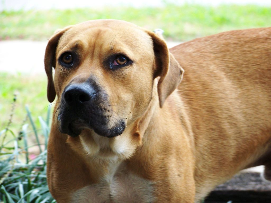 Blackmouth Cur Top Dogs Breeds Black Mouth Cur Black Mouth