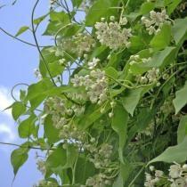 La wattakaka a du coeur jusque dans ses feuilles - Wattakaka ou Dregea sinensis