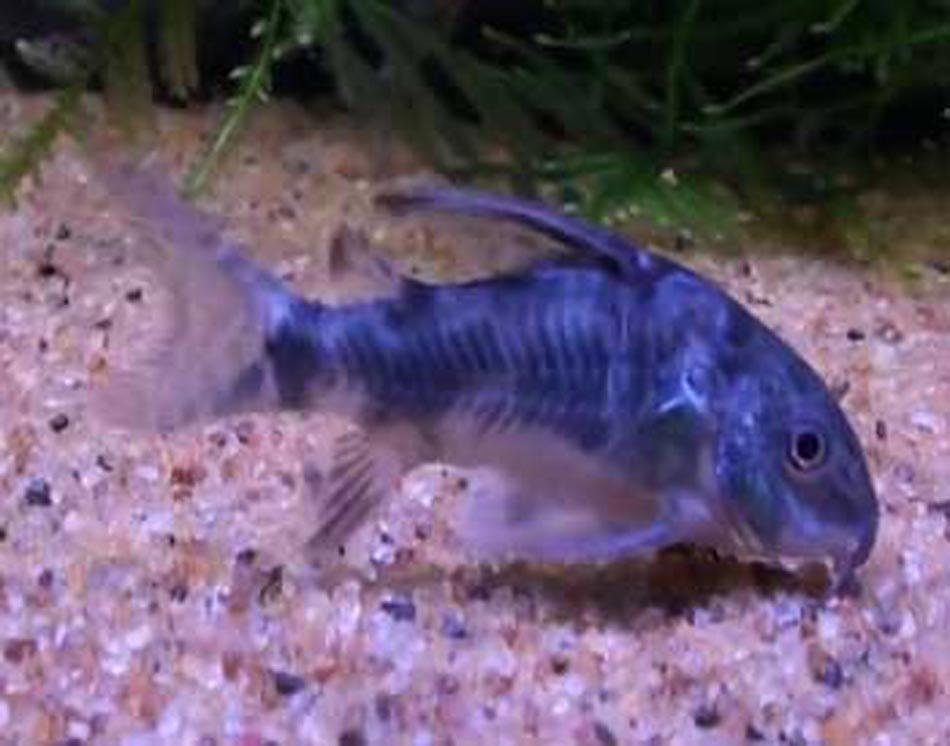 Picture Of Peppered Cory Catfish Copyright Www Fish Species Org Uk Cory Catfish Catfish Aquarium Fish