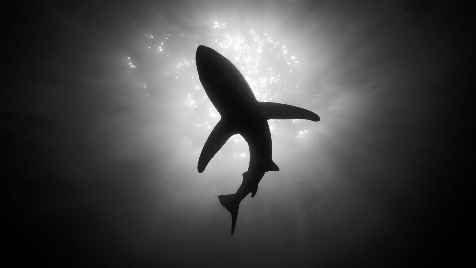 Black And White Shark Photos