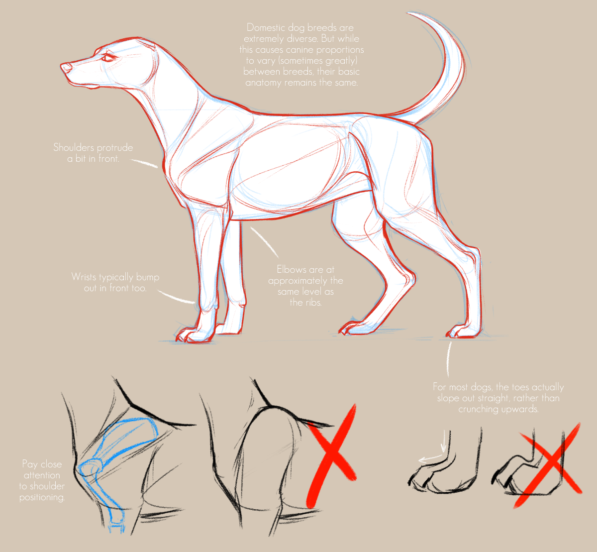 Releasing from my Patreon. Old notes on dog anatomy | Gesture ...