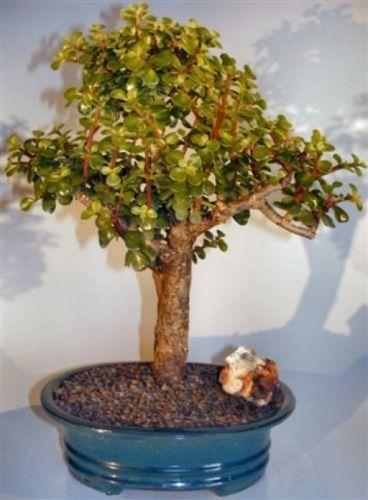 Bonsai Rare Baby Jade Bonsai Tree Portulacaria Afra 13 Years Old Indor Plant Jade Bonsai Plants Trees To Plant