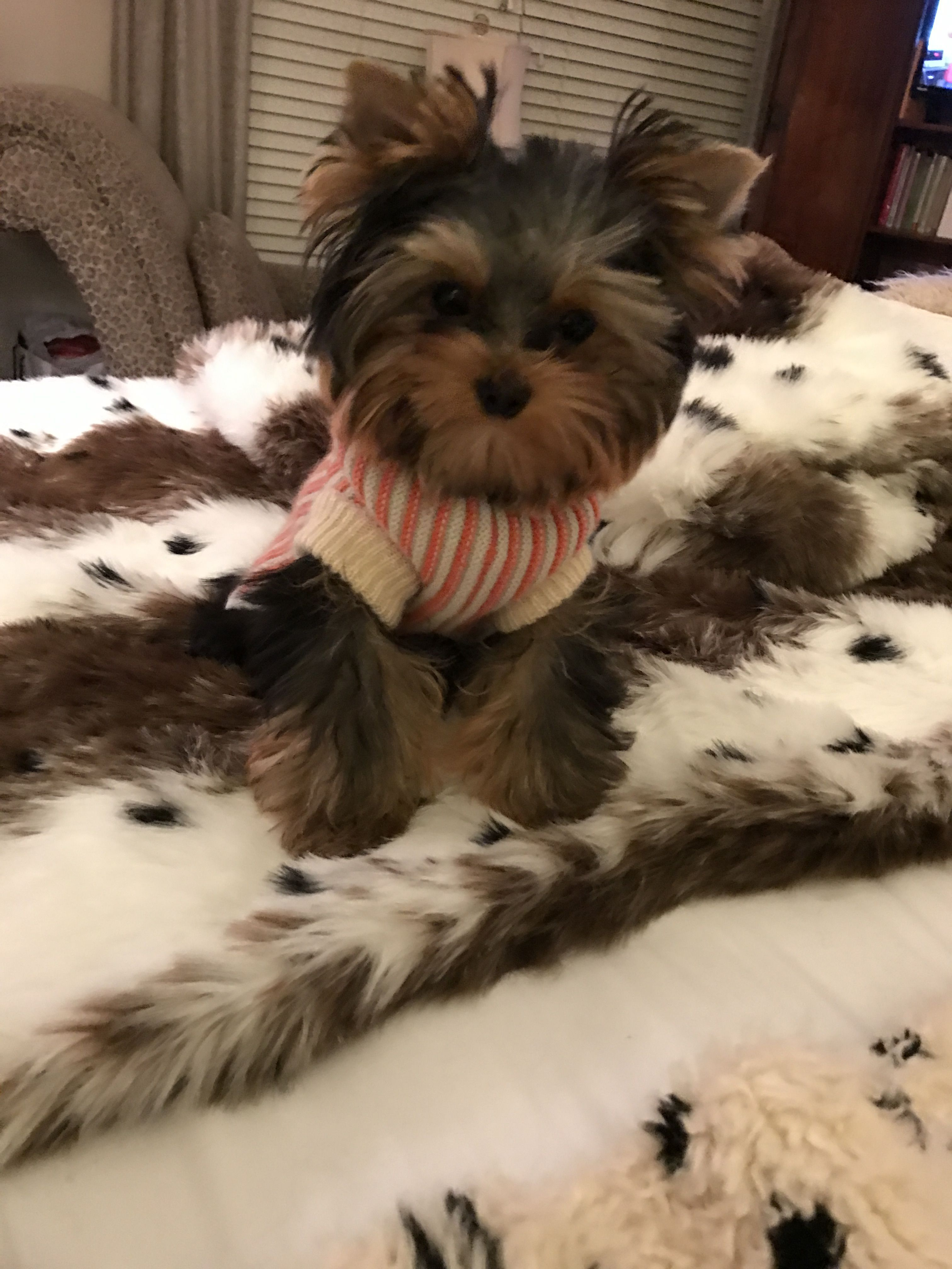 Pin By Jo Bruton On Yorkies Yorkshire Terrier Puppies Yorkie