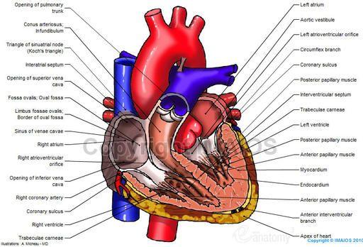 Heart diagram for human 445g 512348 med pinterest heart diagram for human 445g 512348 ccuart Image collections