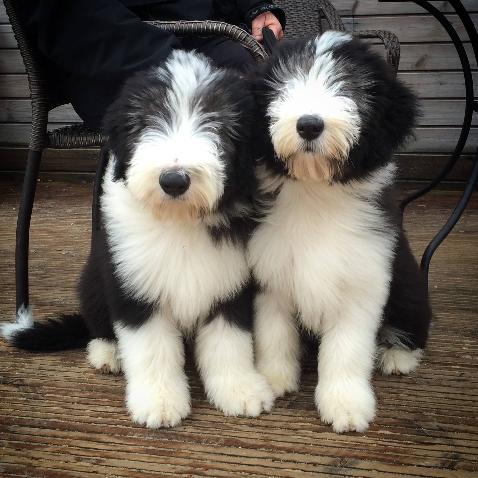 Archer And Myrtle At 15 Weeks Bearded Collie Old English