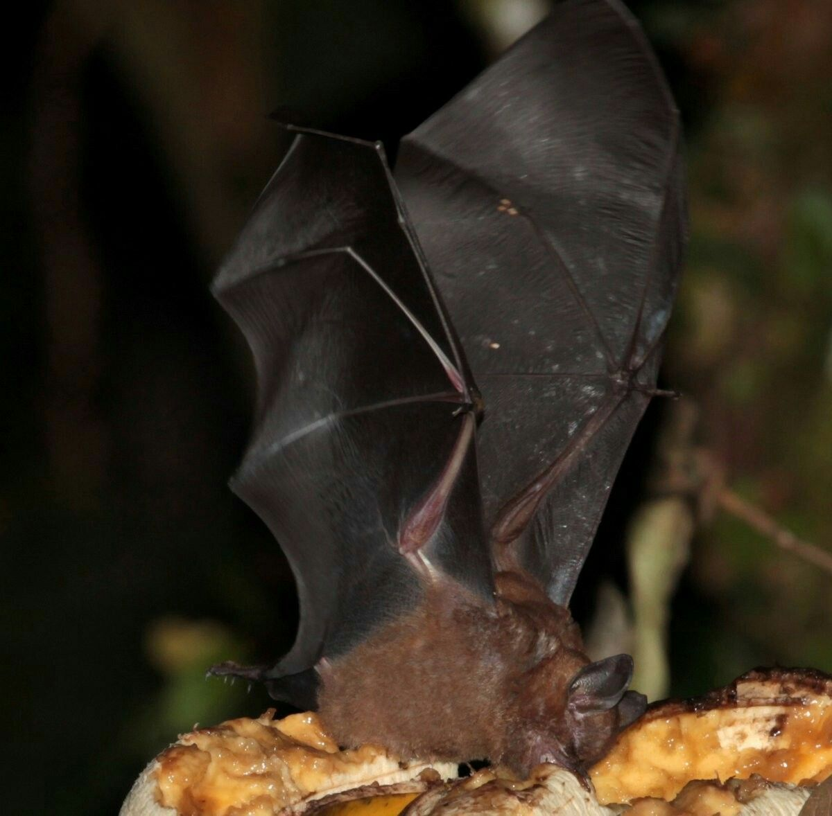 Tschudi's yellow-shouldered bat