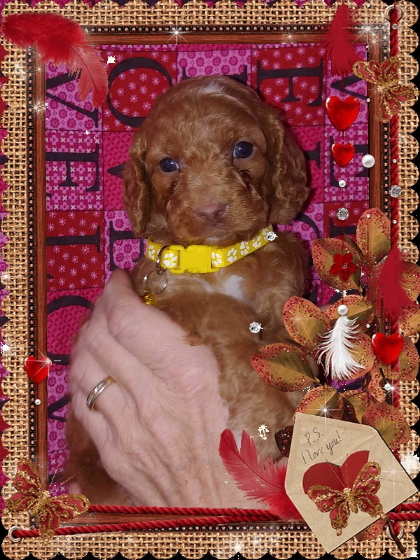 Goldendoodle And Australian Labradoodle Puppies For Sale