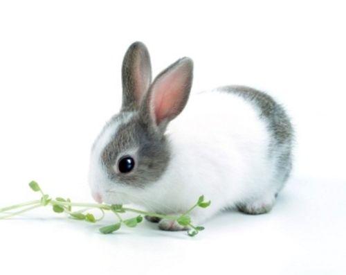 Dwarf Dutch Rabbit  Bunnies  Pinterest  Rabbit Dutch rabbit