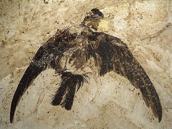 "The ""Scanish Swift"", a fossil Swift from 49 million years ago and the oldest known Swift. (Scaniacypselus szarskii; Apodidae; Mayr & Peters 1999) http://www.swift-conservation.org/PhotoGallery..htm …"
