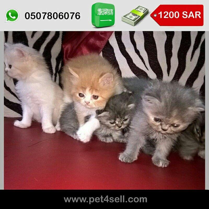 السعودية الرياض قطط شيرازي فاتنه الجمال تحب اللعب تأكل الطعام الجاف Dry Food بصحه ممتازه ذكور واناث Pet4sell Cats Animals