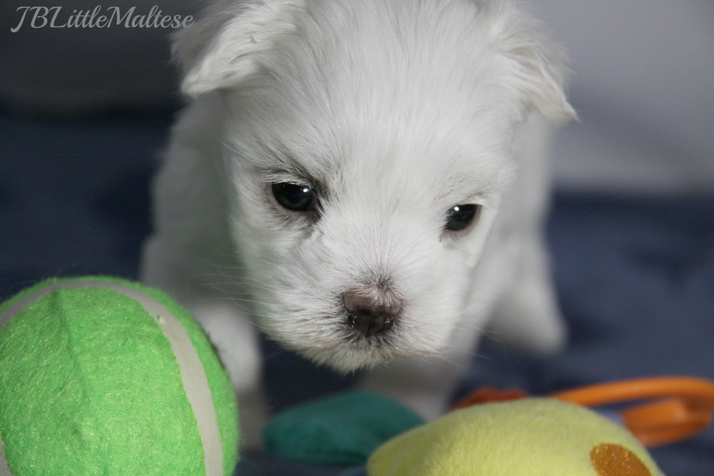 Teacup Maltese Puppy Teacup Puppies Maltese Maltese Puppy Puppies