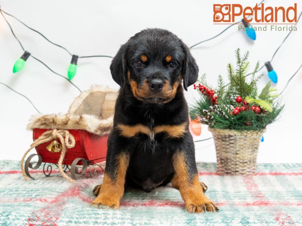 Puppies For Sale Puppy Friends Rottweiler Puppies For Sale Rottweiler Puppies