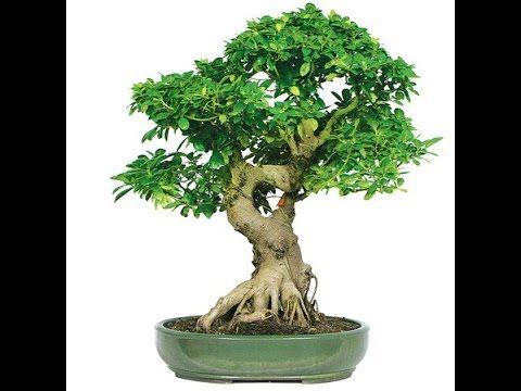 Joshua Tree Bonsai For Sale Bonsai Tree