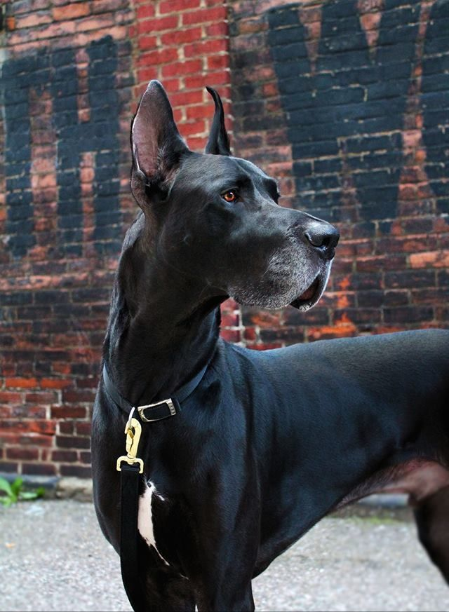 Stunning Great Dane Great Dane Dogs Great Dane Black Great Danes