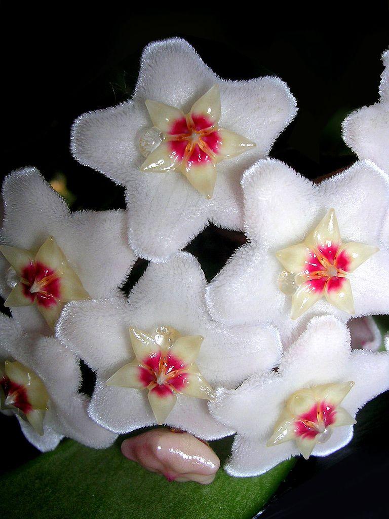 The Flowers Look Like White Velvet Colorswhite 1