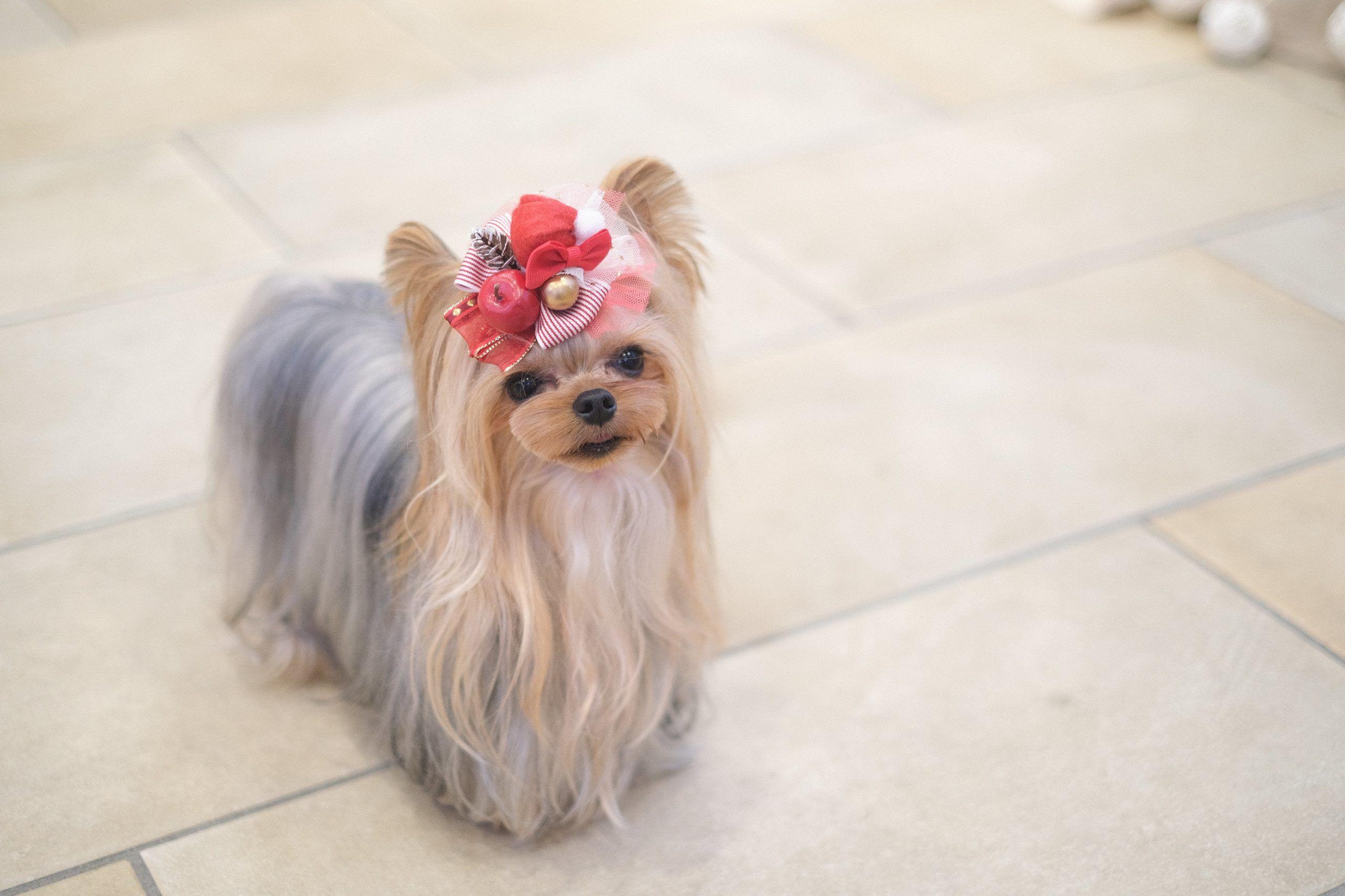 ドッグサロン イソラ そのコらしさを大切に 子犬に優しいトリミング イソラ ヨークシャーテリア ペットサロン