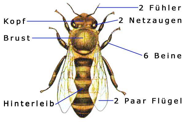 k rperbau biene hausaufgaben bienen insekten und spinnentiere. Black Bedroom Furniture Sets. Home Design Ideas