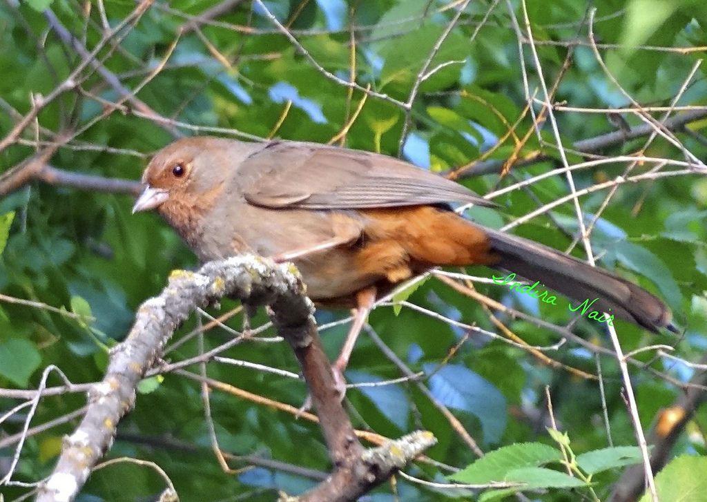 California Towhee | Backyard birds, Wild birds, California