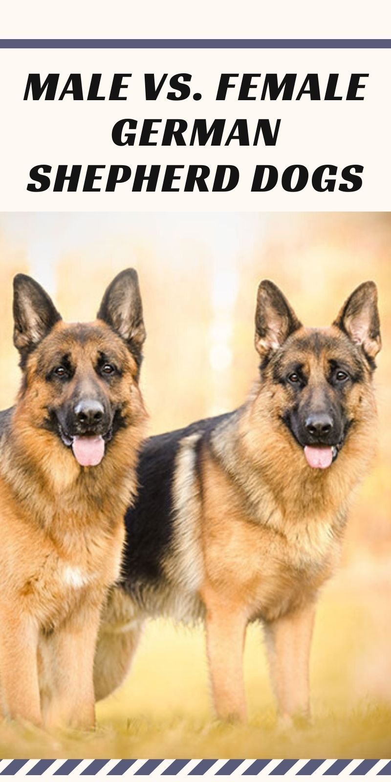 Male Vs Female German Shepherd Dogs Our Deer In 2020 Female German Shepherd Shepherd Dog German Shepherd
