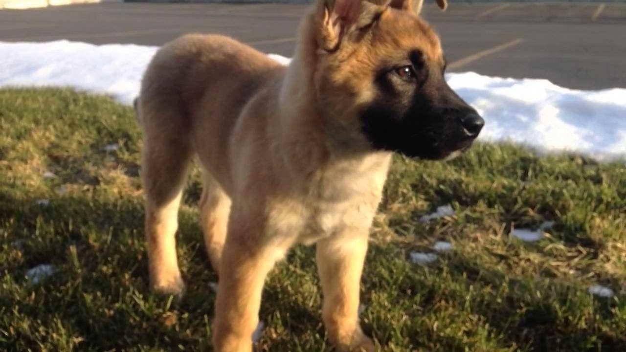 Akita German Shepherd Mix For Sale German Shepherd Mix Puppies