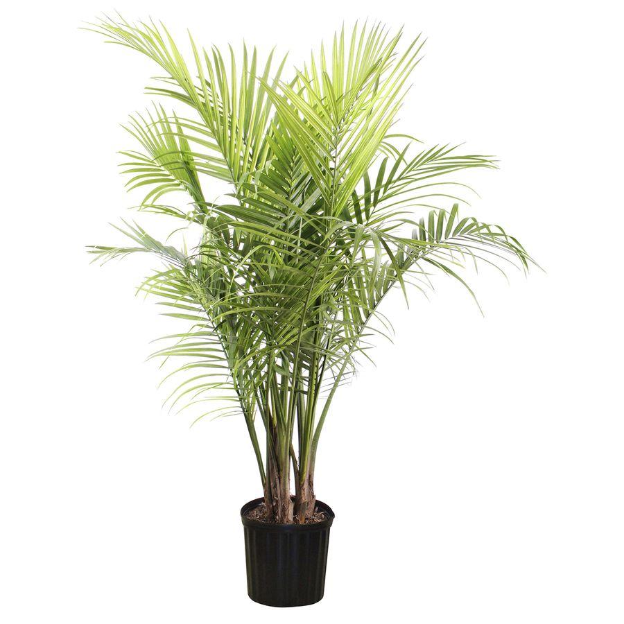 Exceptional Shop 1.94 Gallon Majesty Palm (LTL0062) At Lowes.com
