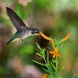 Hummingbird and Honeysuckle (1042)