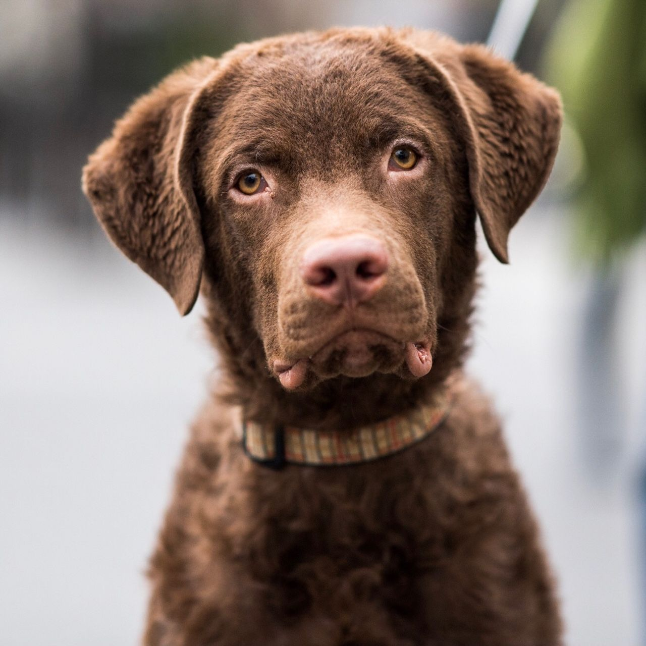 Raymond Chesapeake Bay Retriever 9 M X2f O Union Square New York Ny He S Calm For A Chessie But They Can Be Difficult To Trai With Images Chesapeake Bay Retriever