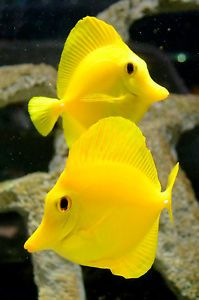 Live Beginner Saltwater Fish 2 5 Yellow Tang Peaceful Marine Algae Grazer Saltwater Fish Tanks Saltwater Aquarium Beginner Salt Water Fish