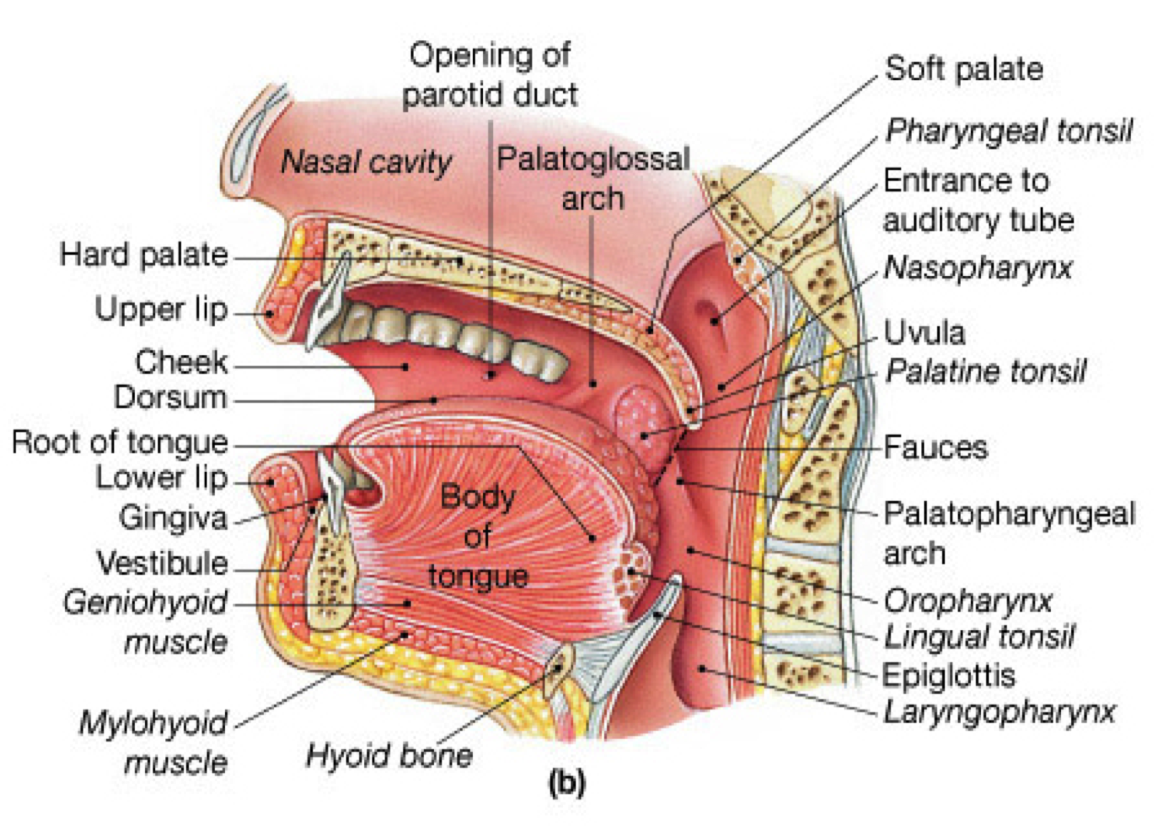 soft palate - Google Search | anatomy | Pinterest | Nursing students