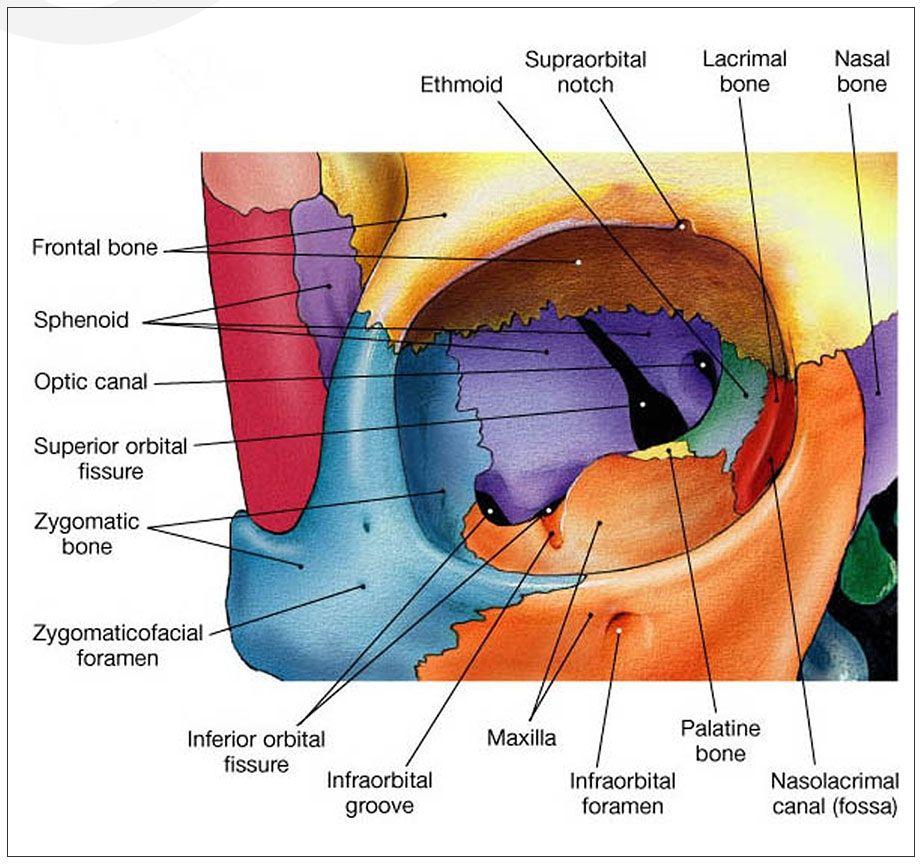 Orbital Bone | enfermería | Pinterest | Anatomía, Medicina y Enfermería