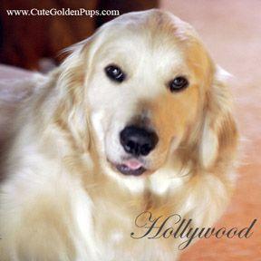 Golden Retriever Pups Nj Breeders White English Cream Blonde Light